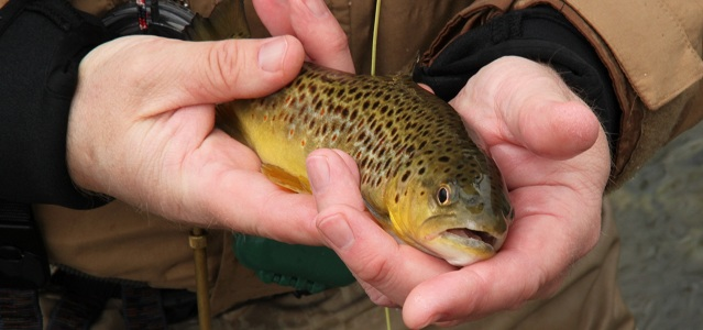 Beautiful Rose River Farm Brown Trout on size 20 Zebra Midge