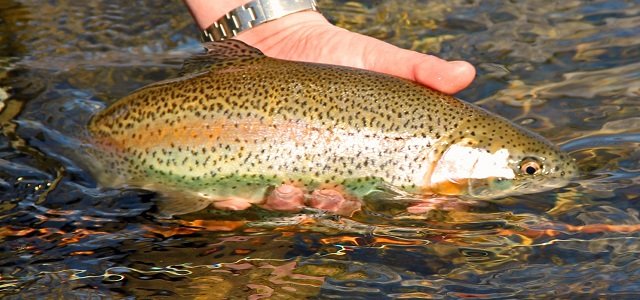 Virginia fly fishing madison county trout rose river for Trout fishing in wv